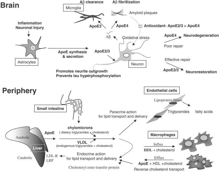 οιστρογόνα πως λειτουργούν στον εγκέφαλο στο συκώτι