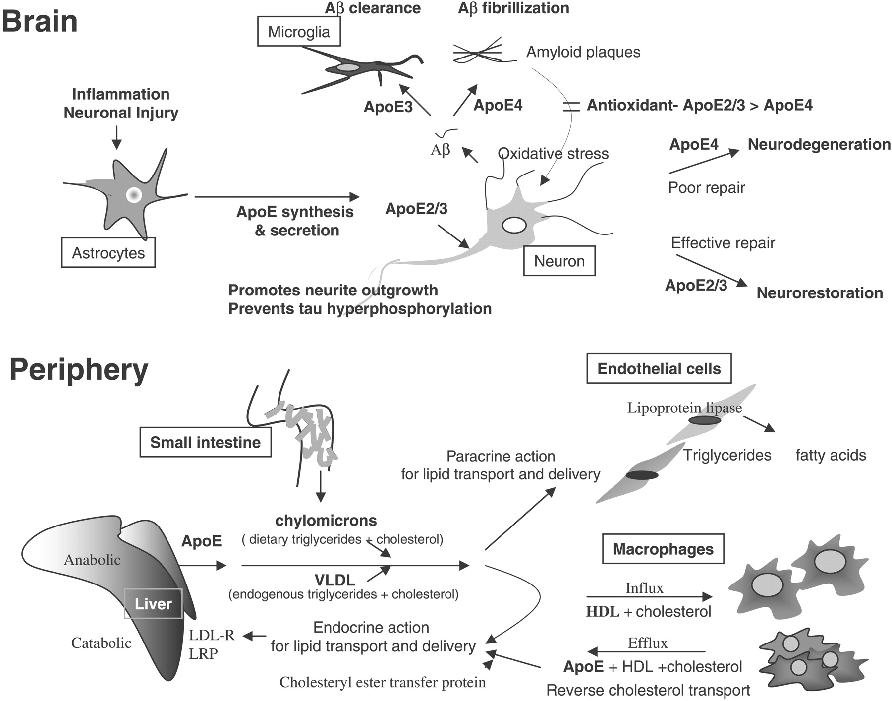 brain-and-periphery-effects-of-estrogen-deficiency
