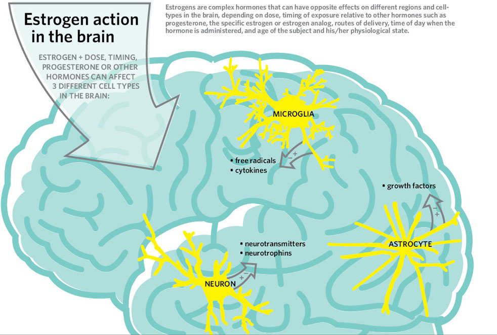 estrogen-action-in-the-brain