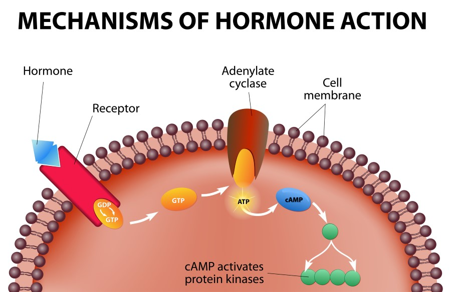 mechanisms-of-hormone-action